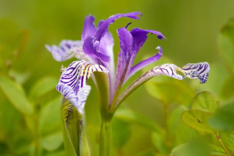 A Wild Iris at Turnbull NWR