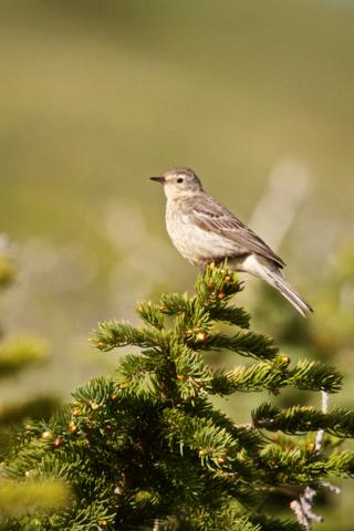 The American Pipit is a Small Songbird that Usually Prefers the Ground