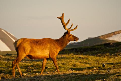 A Bull Elk in the Early Morning Light