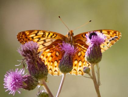 A Butterfly and Its Thistles in the Sun