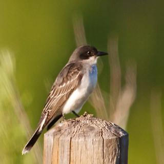 Sharon's Photo of a Western Kingbird