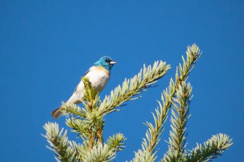 A Lazuli Bunting