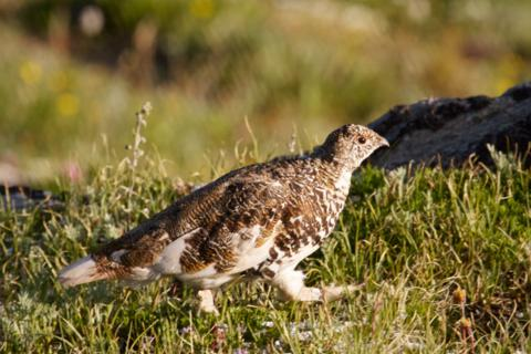 A White-tailed Ptarmigan Prefers Running to Flying