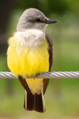 An Eastern Kingbird