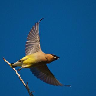A Lucky Shot of a Cedar Waxwing in Flight