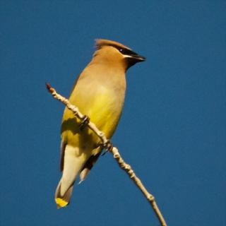 I Love the Muted Colors of Cedar Waxwings