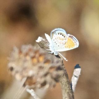 A Western Pygmy Blue