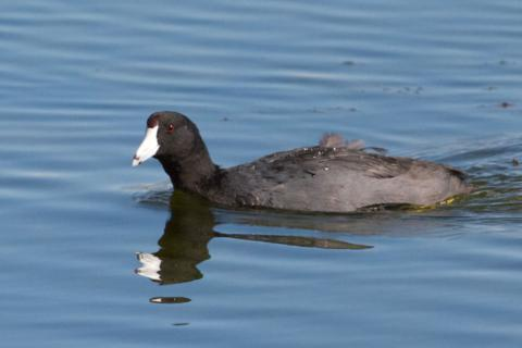 An American Coot