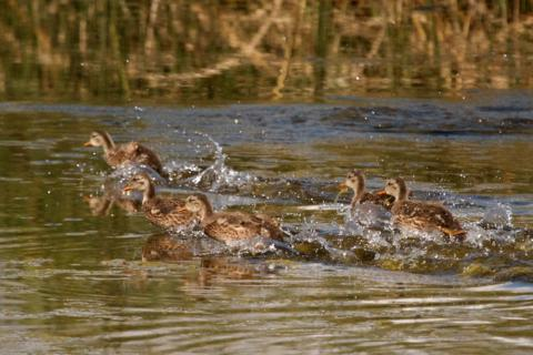 Five Ducklings Run As Fast As They Can From Me