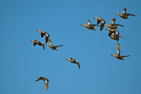 A Dozen Canada Geese Fly By