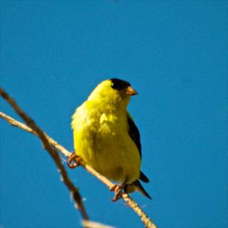 A Male American Goldfinch in Breeding Plumage