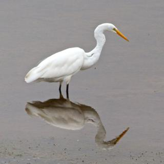 A Great Egret and its Reflection
