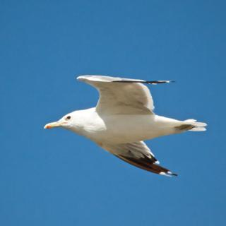 A Gull
