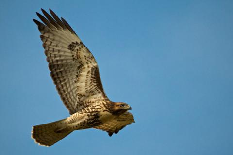 This Hawk Actually Has Two Complete Wings