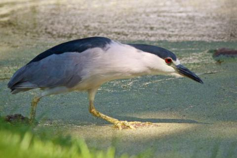 The Night Heron Hunts