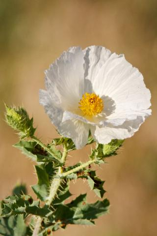 A Prickly Poppy in the Sun