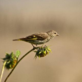 A Pine Siskin on a Sunflower