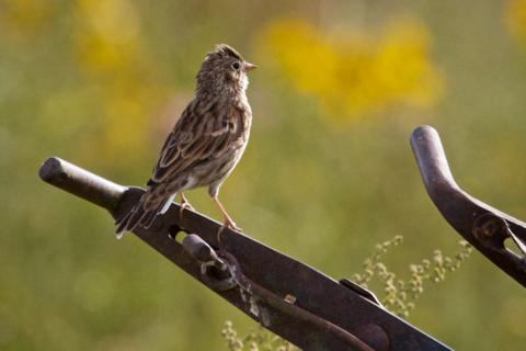 This is Probably a Vesper Sparrow