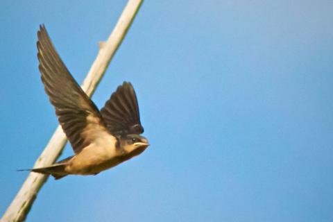 A Barn Swallow