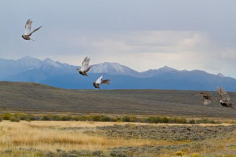 Five Greater Sage-Grouse Take Off