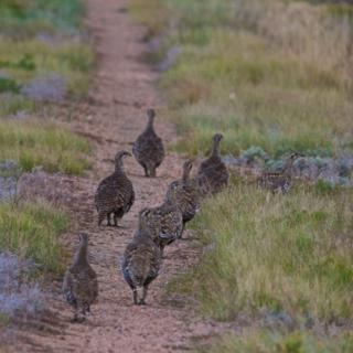 Eight Greater Sage-Grouse Stroll Down the Track
