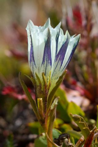 Just Inches Tall, this Arctic Gentian Grows in the Tundra