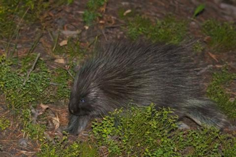 A Baby Porcupine in the Bush