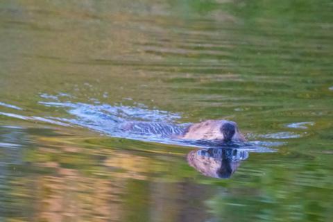 A Beaver Swims