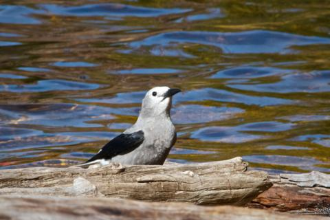My First Clark's Nutcracker