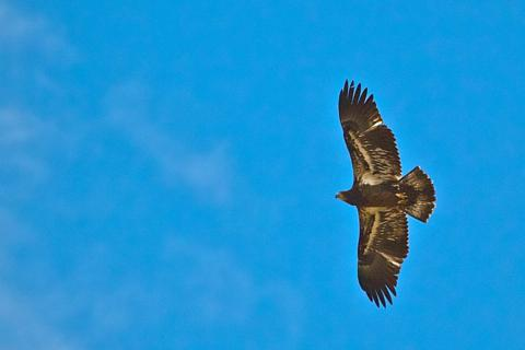 An Immature Golden Eagle Soars