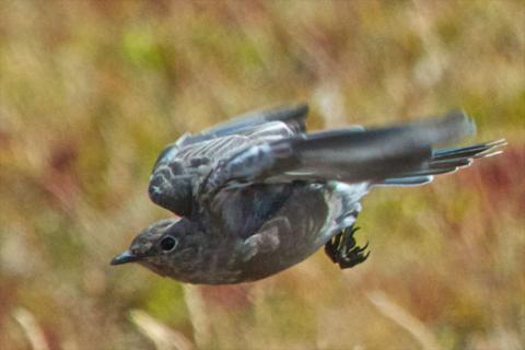 A Female Mountain Bluebird