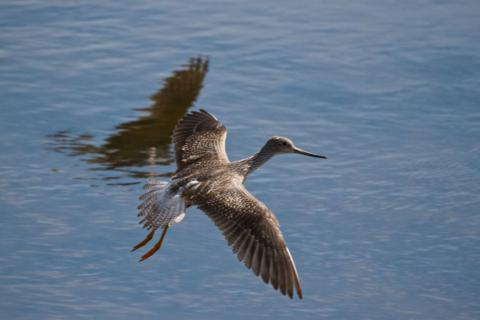 A Greater Yellowlegs Flies