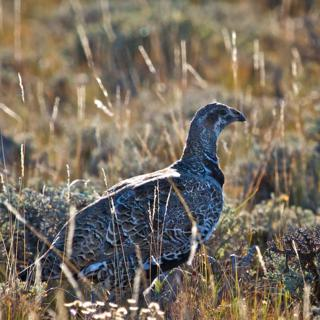 Looking into the Sun at a Greater Sage-Grouse