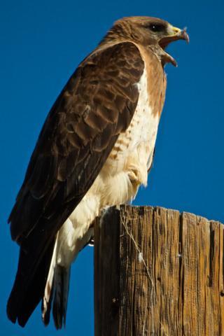 A Hawk Calls