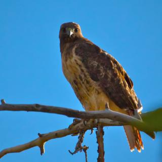A Red-Tailed Hawk Looks