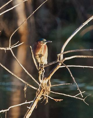 The Green Heron at Rest