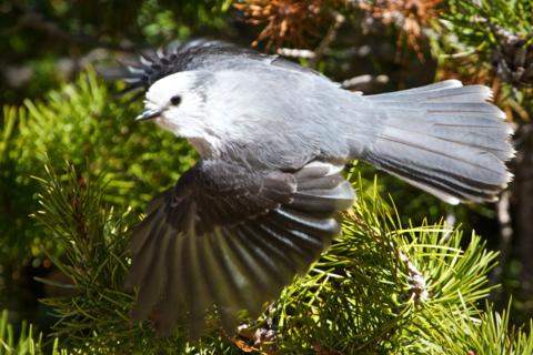 The Gray Jay Flies