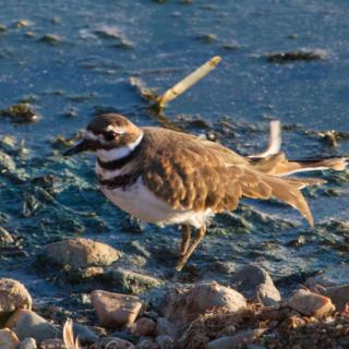 A Killdeer on the Walden Reservoir Shore