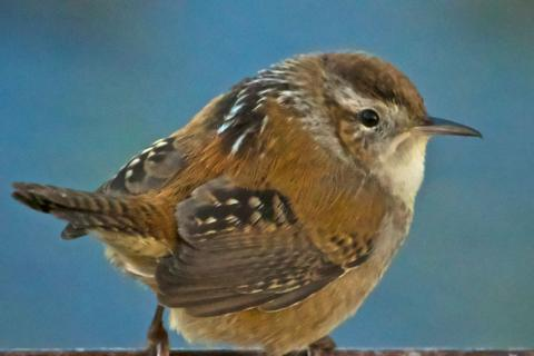 A Marsh Wren