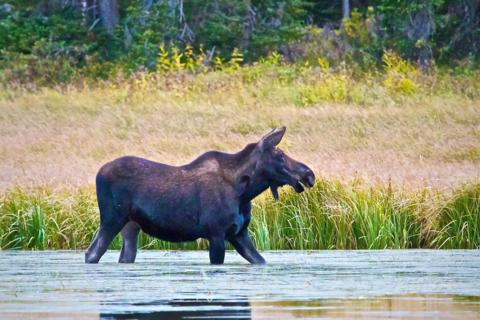 A Female Moose Strolls Along Trap Lake