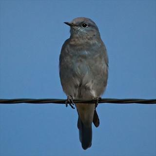 A Mountain Bluebird