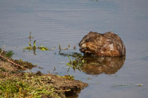 The Muskrat Eats Lunch
