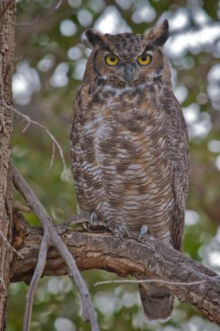 The Great Horned Owl Certainly Saw Me First