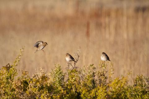 Three Savannah Sparrows at Arapaho National Wildlife Refuge