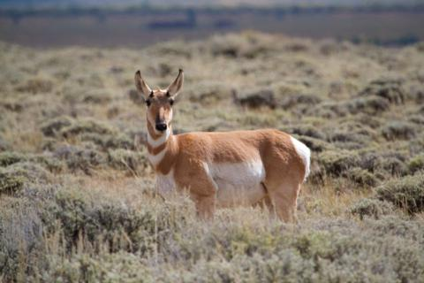A Pronghorn in the Sagebrush Watches Warily