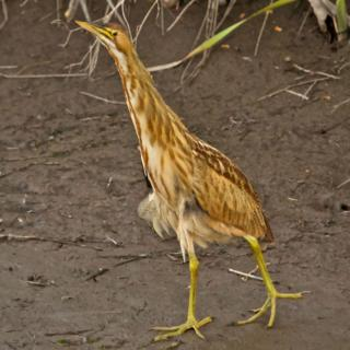 The American Bittern Pretends to be a Reed
