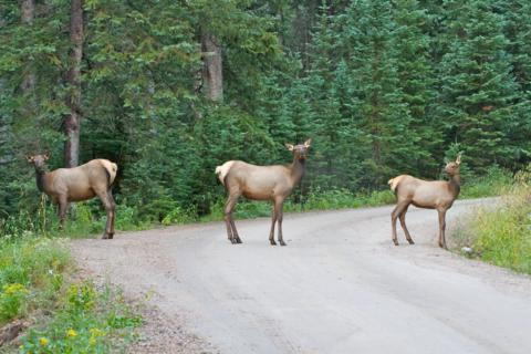 Elk Have Right of Way on Old Fall River Road