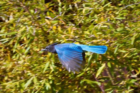 A Steller's Jay Flies By