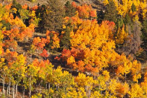 Aspens Turning Yellow and Then Red
