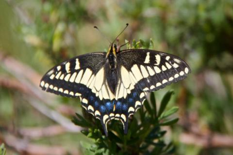 A Different Swallowtail Species